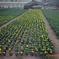 深圳惠州时花批发,开花花卉,一串红,矮牵牛,凤仙花,菊花
