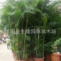 供应【凤尾竹】凤尾竹价格 庭院工程,热销