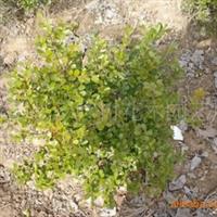 供应 绿化苗木 黄杨 腊梅,红梅,绿梅,垂梅