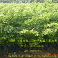 海南黄花梨苗/ 降香黄檀 50~60厘米高