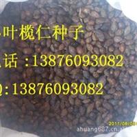 小叶榄仁种子    1300粒/斤