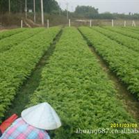 海南黄花梨苗 50~60厘米高