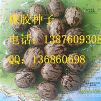 橡胶树种子     100斤起发货    10元/斤