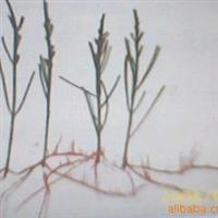 供应木麻黄水培苗育苗技术(转让)