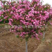 菏泽建国牡丹公司供应优质苗木