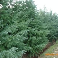 泰安青山园林绿化苗雪松