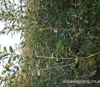 萧山绿度园艺场供应各种乔灌木:樱花,红枫,红白玉兰,红叶石楠