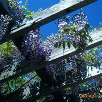 供应紫藤 等多种攀援类植物