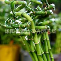 批发不雅观赏竹子室内花卉富贵竹转运竹子