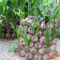 兴达苗木专卖—优质椰子苗