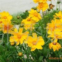 批发供应优质万寿菊种子 金鸡菊种子 矢车菊种子