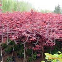 供应当年新采的苗木种子 枫树种子,红枫种子,进口红枫种子