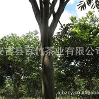 无患子 肥皂树 15公分左右 园林绿化优质苗木 长期大量供应