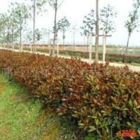 供应园林工程小品花卉景观苗木鲜花盆景租赁护养