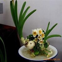 水仙花 水仙花种球水培植物 大量出售绿化苗木 欢迎选购