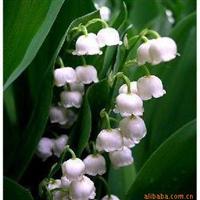 铃兰花 铃兰花种根 大量出售绿化苗木 欢迎到本地实地考察