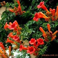 花卉%-4年* 藤本凌宵* 红花绿叶美化家园 有优惠哦