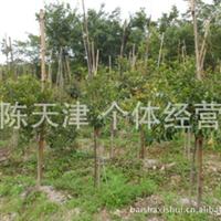 红皮榕树 苗 高1.5 直径2公分左右
