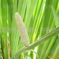 供应水生花卉  菖蒲(图)
