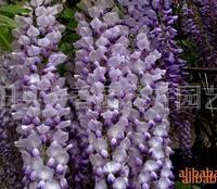 供应 紫藤种子