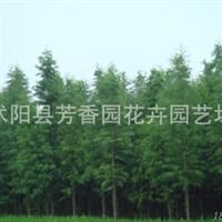 基地直销  池杉