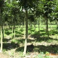 产地直销  榉树