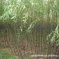 大量供应垂柳 绿化工程苗木