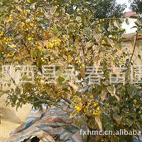 供应浓香素心  蜡梅,圃地红梅、绿梅等各种规格 梅花出售