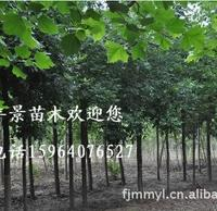 丰景园林 大量供应8-30公分 白蜡