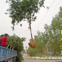 丰景苗木 大量供应 8-45公分国槐