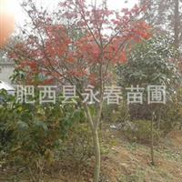 低价供应地径2-3公分红枫 樱花 垂丝海棠 批发小苗 樱花树苗