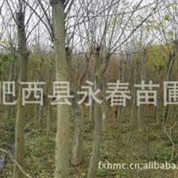 肥西苗圃基地供应野生朴树 移栽朴树 骨架朴树 朴树