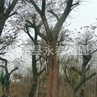 提供黄连木 野生黄连木 移栽黄连木 乡土树种等绿化树苗