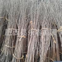 【百日红】 供应优质标准化红花紫薇 紫薇小苗批发 紫薇价格