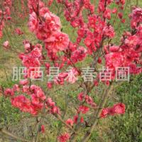 销售优质红花重瓣碧桃 白花碧桃 红叶碧桃 寿桃 碧桃各种规格