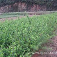 湘源苗圃供应大量常绿灌木:火棘     欢迎来电咨询