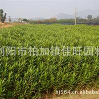 苗木基地低价供应  绿化夹竹桃小苗