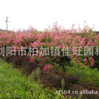 供应绿化园艺乔木  大量优质紫薇