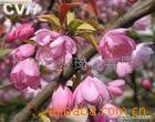 供应垂丝海棠盆景,小苗,各种绿化苗木。(图)