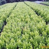 供应;小叶黄杨、金边黄杨、无花果、黄馨、木香(图)