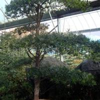 供应罗汉松、罗汉松苗、罗汉松树、罗汉松盆景、