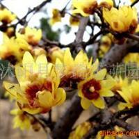 供应腊梅、黄心腊梅、腊梅盆景(图)