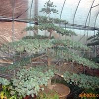 供应五针松、五针松盆景、五针松树、花木五针松