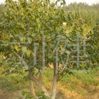 供应各种花卉苗木 优质3-4分支金银木