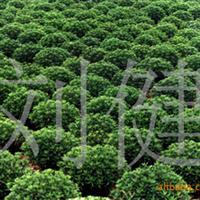 昌达优质苗木供应  三七景天 德国景天 八宝景天