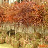 绿视界苗木供应-湖南绿化苗木-湖南花木-南天竺
