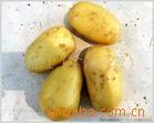 供应优质保鲜,有机土豆,大量批发