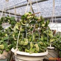 供应卷叶球兰皱叶球兰Hoya carnosa cv