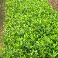 供应绿化苗木灌木工程苗木栀子、大叶栀子花