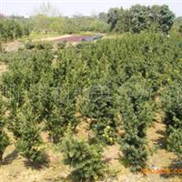 大量供应优质绿化苗木  造型罗汉松 罗汉松小苗
